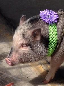 hinckley-buzzard-buzz-2015-pig-pet